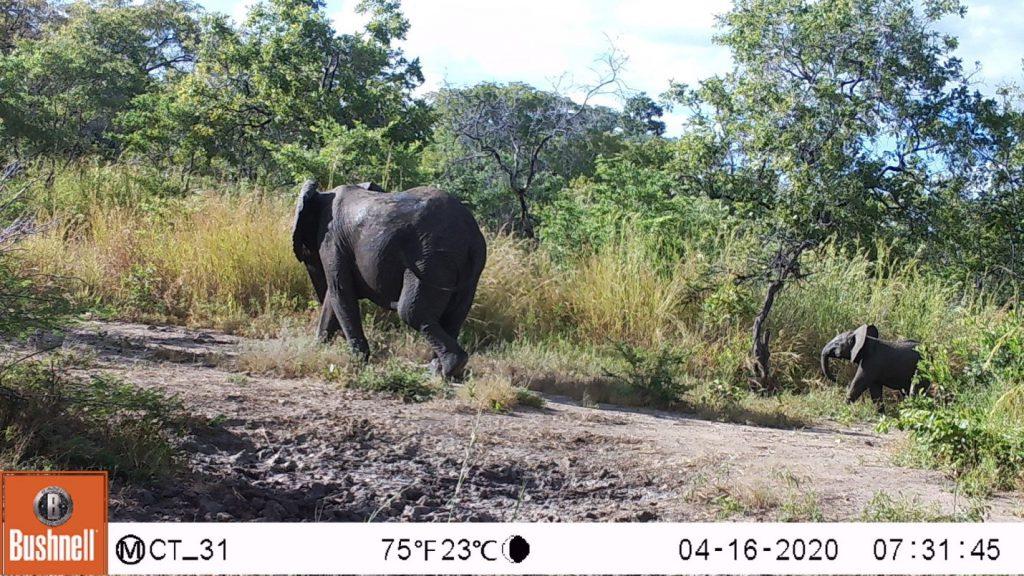 Viele Elefantenherden haben Kälbchen. (c) Wildlife Action Group