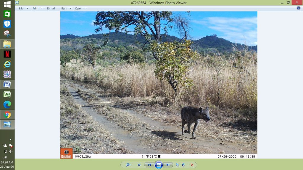 Die ungewöhnliche Aufnahme einer Tüpfelhyäne (Crocuta crocuta) um 9:15 Uhr morgens. (c) Wildlife Action Group