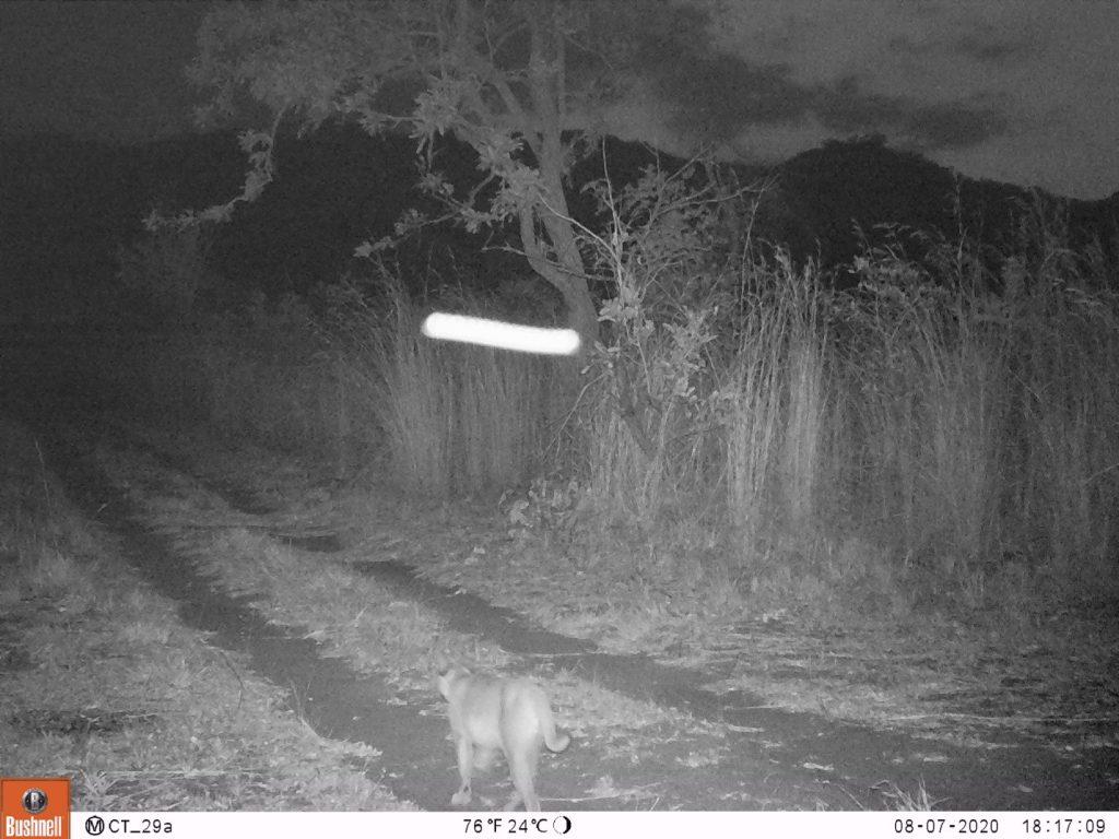 Die 2. Aufnahme eines Karakals in Thuma. Ein Karakal (Caracal caracal), manchmal auch Wüstenluchs genannt, ist eine scheue nachtaktive Wildkatze und wir freuen uns, daß wir auch Raubtiere in Thuma haben. (c) Wildlife Action Group