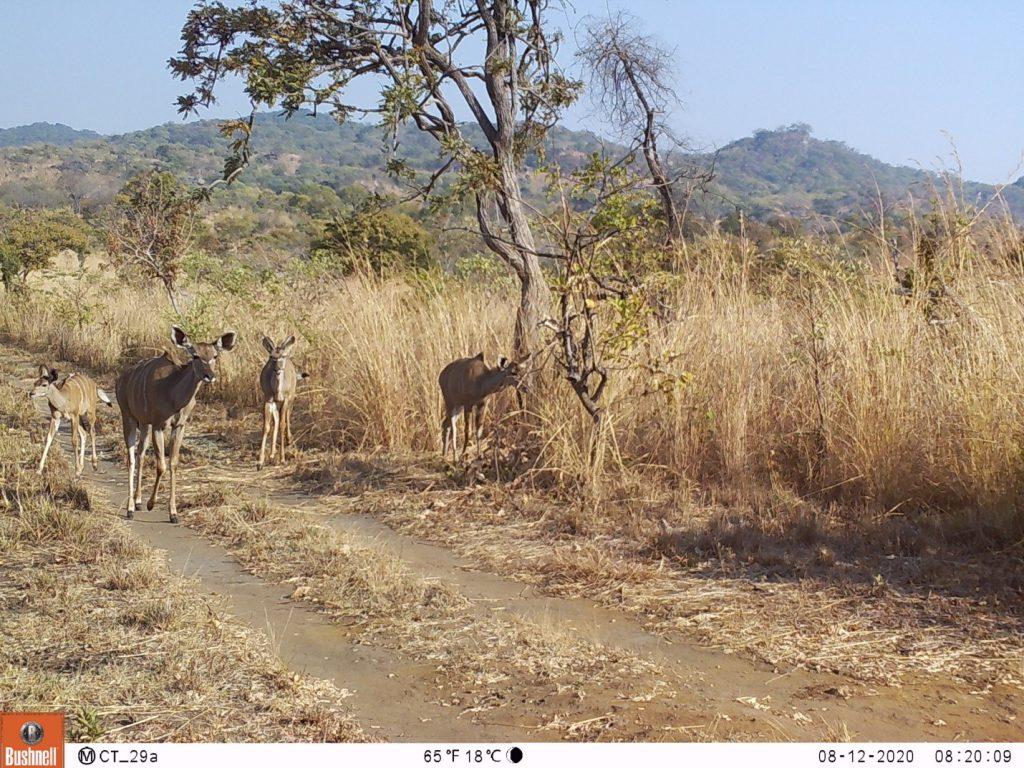 Die Population der Kudu-Antilopen steigt stetig an und viele Herden haben Kälber. (c) Wildlife Action Group