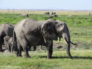 Elefantenkuh in Amboseli