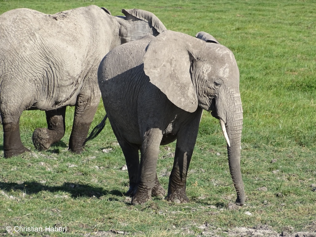 Junge Elefantenkuh aus Amboseli