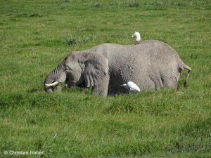 Elefantenkuh mit Kuhreihern