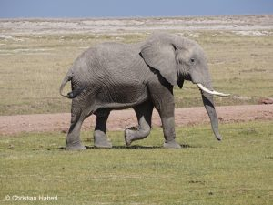 Junger Elefantenbulle