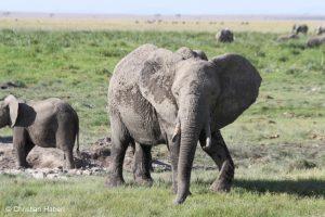 Elefantenkuh mit abgebrochenem Stoßzahn