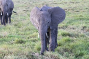 Elefanten beim Grasen in der Savanne.
