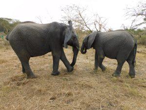 Alamaya und Enkesha (c) Sheldrick Wildlife Trust