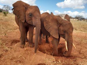 Embu (links) und Suswa (c) Sheldrick Wildlife Trust