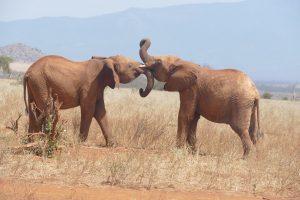 Embu (links) mit Ndotto (c) Sheldrick Wildlife Trust