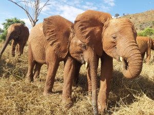 Emoli (links) mit Godoma (c) Sheldrick Wildlife Trust