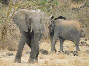 Faraja und Shukuru (c) Sheldrick Wildlife Trust