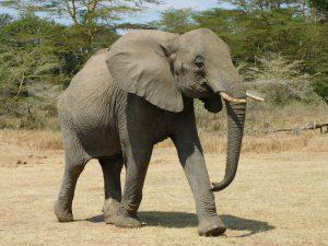 Murera auf dem Weg zu Luggard (c) Sheldrick Wildlife Trust