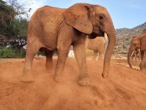 Ngilai (c) Sheldrick Wildlife Trust