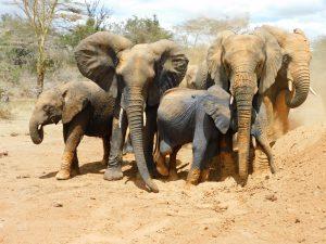 Die Waisen beschützen Luggard (c) Sheldrick Wildlife Trust