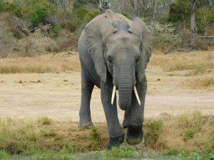 Quanza (c) Sheldrick Wildlife Trust