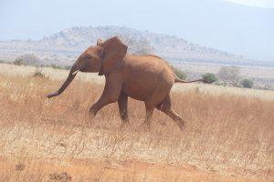 Rorogoi hat sich von wilden Elefanten ablenken lassen und versucht jetzt, zur Waisenherde aufzuschließen (c) Sheldrick Wildlife Trust