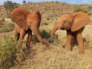 Rorogoi (links) und Arruba (c) Sheldrick Wildlife Trust