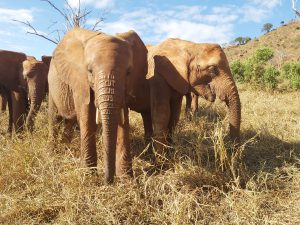 Sagala (links) und Tagwa (c) Sheldrick Wildlife Trust