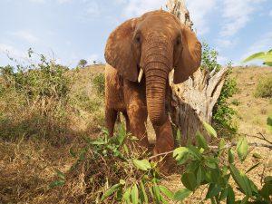 Sagala beim Schubbern (c) Sheldrick Wildlife Trust