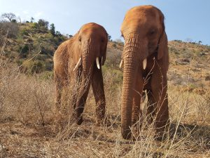 Suswa (links) und Ndotto (c) Sheldrick Wildlife Trust