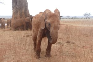 Tagwa (c) Sheldrick Wildlife Trust