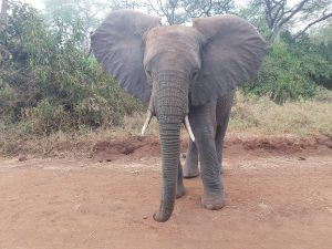 Ziwa ein wenig übernächtigt (c) Sheldrick Wildlife Trust