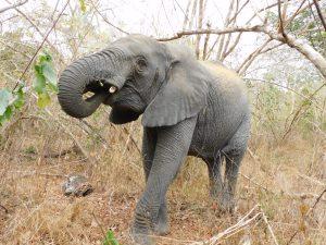 Zongoloni nach einer langen Nacht im Busch (c) Sheldrick Wildlife Trust