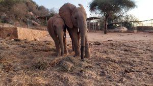 Ambo und Siangiki (c) Sheldrick Wildlife Trust