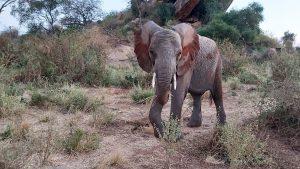 Barsilinga (c) Sheldrick Wildlife Trust