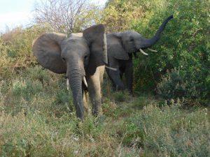 Bomani und Orwa (c) Sheldrick Wildlife Trust