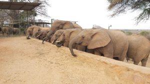 Challa und die Ex-Waisen (c) Sheldrick Wildlife Trust