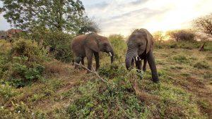 Enkikwe und Kuishi (c) Sheldrick Wildlife Trust