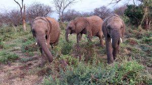 V.l.n.r.: Esampu, Mundusi und Mapia (c) Sheldrick Wildlife Trust