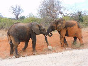 Garzi spielt mit Bomani (c) Sheldrick Wildlife Trust