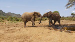 Kainuk und Chemi Chemi (c) Sheldrick Wildlife Trust