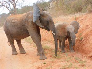 Kamok und Ambo (c) Sheldrick Wildlife Trust