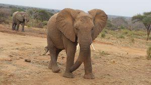 Kandecha (c) Sheldrick Wildlife Trust