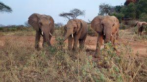 V.l.n.r.: Kandecha, Sapalan und Roi (c) Sheldrick Wildlife Trust