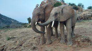 Kauro schwatzt mit Tusuja (c) Sheldrick Wildlife Trust