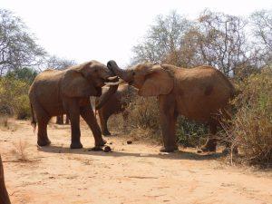 Kibo und Kilaguni (c) Sheldrick Wildlife Trust