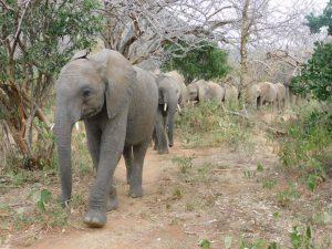 Kuishi führt die Herde an (c) Sheldrick Wildlife Trust
