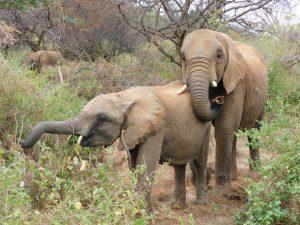 Sattao und Suguta (c) Sheldrick Wildlife Trust