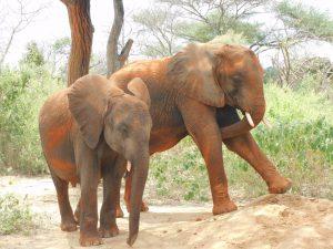 Ambo und Kamok (c) Sheldrick Wildlife Trust