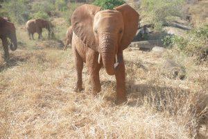 Araba (c) Sheldrick Wildlife Trust