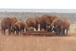 Wilde Elefanten an der Tränke beim Affenbrotbaum (c) Sheldrick Wildlife Trust