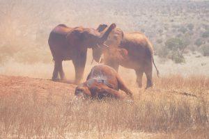 Emoli (vorn) versucht ein paar wilde Elefanten zu beeindrucken (c) Sheldrick Wildlife Trust