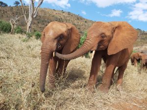 Emoli (links) und Sagala (c) Sheldrick Wildlife Trust
