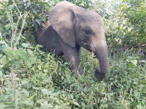 Enkesha (c) Sheldrick Wildlife Trust