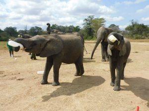 Enkesha und Luggard mit hren Milchflaschen (c) Sheldrick Wildlife Trust