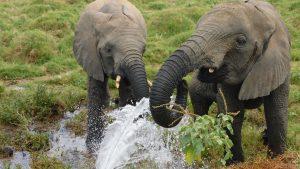 Faraja und Zongoloni saufen sprudelndes Wasser aus einer kaputten Wasserleitung (c) Sheldrick Wildlife Trust